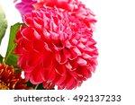 dahlia garden image as an... | Shutterstock . vector #492137233
