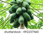 Green Papaya Tree Isolated....