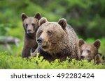 closeup portrait of she bear...   Shutterstock . vector #492282424