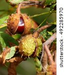 Small photo of Ripe chestnut fruits on tree (Aesculus hippocastanum)