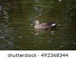 Duck Bird Swimming On Lake