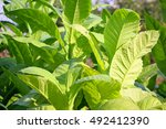 large and fatty tobacco leaves | Shutterstock . vector #492412390