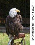 beautiful north american bald... | Shutterstock . vector #492451624