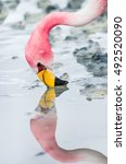 Small photo of Flamingo head close-up looking in the mirror surface of the lake on Altiplano in Bolivia
