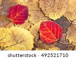natural background from autumn... | Shutterstock . vector #492521710