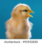 Cute Little Newborn Chicken On...