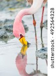 flamingo head and legs close up ... | Shutterstock . vector #492564328