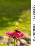 Small photo of Vertical photo of color butterfly who sits on pink zinnia bloom in the garden. Background is green with few unfocused stones. Insect has splayed wings.