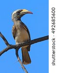 Small photo of African Grey Hornbill, Tockus nasutus, portrait of grey and black bird with big yellow bill, sitting on the branch wit blue sky, Botswana, Africa