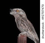 Small photo of A Tawny Frogmouth a kind of Australian night bird.