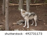 A Lone Timber Wolf In The Forest