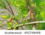 british robin  erithacus... | Shutterstock . vector #492748498