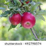 picture of a ripe apples in... | Shutterstock . vector #492798574