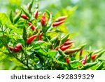 Red Chili Peppers On The Tree...