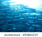 A Shoal Of Barracudas Swimming...