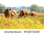 Cows In Pasture On Farm