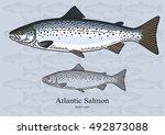 atlantic salmon. vector...