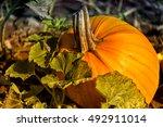 pumpkin patch farm series ... | Shutterstock . vector #492911014
