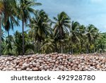 Dry Coconut Field And Coconut...