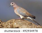 The Laughing Dove  Spilopelia...