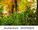 Decorative Shrub With Red...