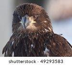 Juvenile Eagle  Frontal Shot