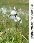 Small photo of cottongrass in austria on a meadow.