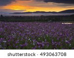 cosmos flower field in the... | Shutterstock . vector #493063708