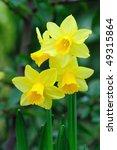 Yellow Dwarf Trumpet Daffodils...