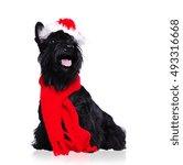 Black Scottish Terrier Wearing...