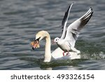 swan and gull fighting for a... | Shutterstock . vector #493326154