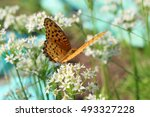 Small photo of male Indian Fritillary sucking nectar from the flower of Allium tuberosum