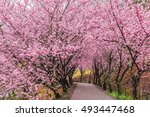 Cherry Blossoms In Wuling Farm...