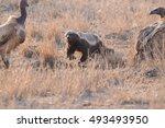 honey badger kruger national... | Shutterstock . vector #493493950