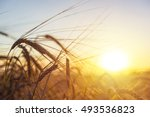 Stock photo beautiful nature sunset landscape ears of golden wheat close up rural scene under sunlight 493536823