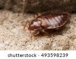 bed bug | Shutterstock . vector #493598239