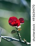 Small photo of SAO PAULO, SP, BRAZIL - JUNE 25, 2016 - Lesser bougainvillea or paperflower, Bougainvillea glabra, plant of the Nyctaginaceae family originating in Brazil widely used in gardening