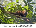 Small photo of SAO PAULO, SP, BRAZIL - SEPTEMBER 10, 2016 - Brown howler or brown howling monkey, Alouatta guariba, native primate of the Atlantic Forest with occurrence from Brazil to Argentina