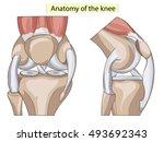 anatomy. knee joint cross... | Shutterstock .eps vector #493692343