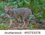 hoary fox   Shutterstock . vector #493753378