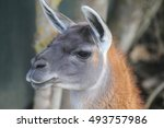 an ilama close up in the meadow | Shutterstock . vector #493757986