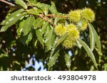 Branch Of Chestnut With Fruits...