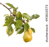 Ripe Pears On A Branch With...