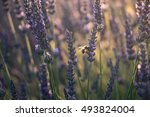 close up of blooming lavender...   Shutterstock . vector #493824004