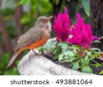 Rufous Bellied Thrush Bird Als...