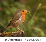 a european robin  erithacus...   Shutterstock . vector #493927084