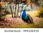 Peacock In The Forest