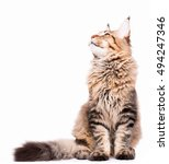 Stock photo portrait of domestic black tabby maine coon kitten months old cute young cat sitting and 494247346