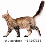 Stock photo portrait of domestic black tabby maine coon kitten months old cute young cat isolated on white 494247358