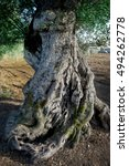 Small photo of age-old trunk of olive tree.